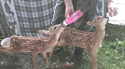 Newborn Deer Size Wildlife first aid - how to feed baby deer (fawns)