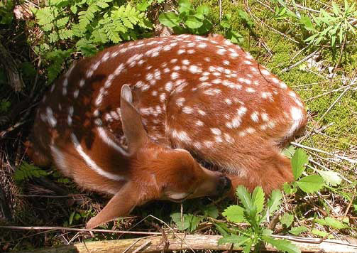Feed Baby Deer Fawns